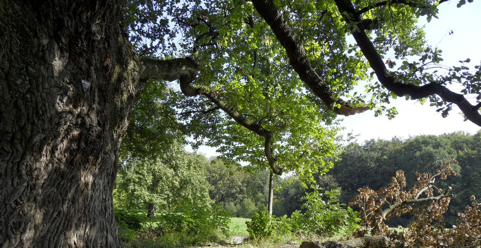 Naturdenkmal Eiche 400 Jahre block art Natur Holz
